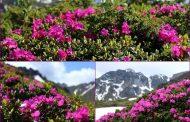 Frumuseti de pe la noi: Rododendronul care impodobeste Bucegii
