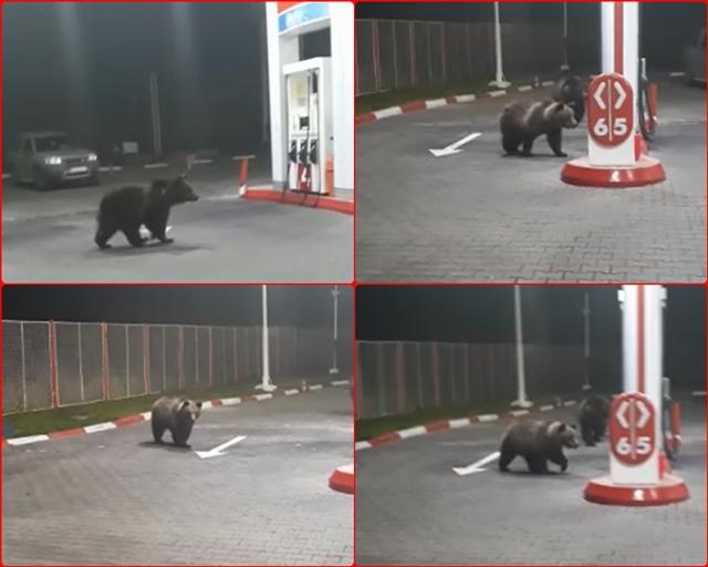 """Viral pe retelele de socializare: Doi ursi au venit sa (se) """"alimenteze"""" la o benzinarie din AZUGA"""